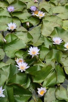Free Blue Lotus Royalty Free Stock Image - 5241766