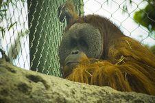 Free Orangutan Royalty Free Stock Photos - 5241968