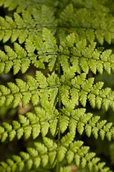 Fern Leaf Detail Royalty Free Stock Images