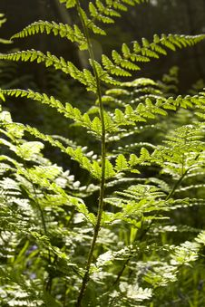 Fern Leaf Detail Royalty Free Stock Photo