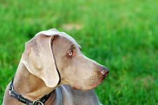 Free Weimaraner Stock Photography - 5242932