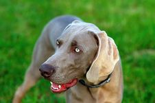 Free Weimaraner Stock Photos - 5242963