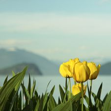 Free Yellow Tulips Outdoor Garden Royalty Free Stock Photos - 5243218