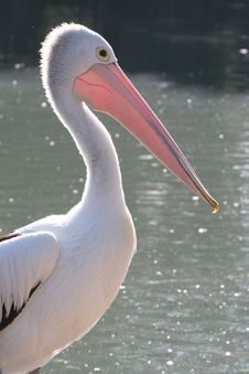 Free Pelican Royalty Free Stock Image - 5243466