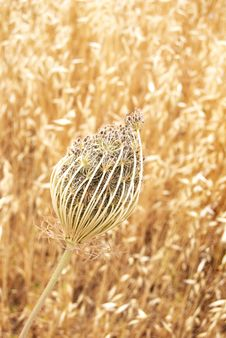 Free Seed Heads Royalty Free Stock Image - 5244306
