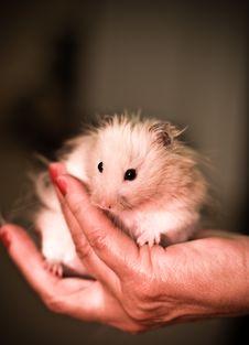 Free Hamster Stock Photo - 5244320