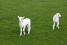 Free Lambs Royalty Free Stock Photos - 5245268
