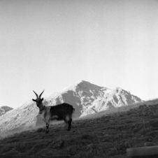 Free Goat Stock Image - 5245391