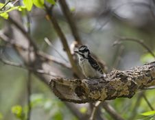 Free Downy Woodpecker Stock Image - 5245561