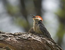 Free Red-bellied Woodpecker Stock Photos - 5245653
