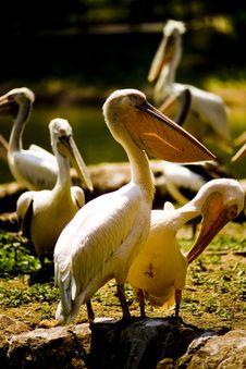 Free Pelicans Royalty Free Stock Image - 5245786