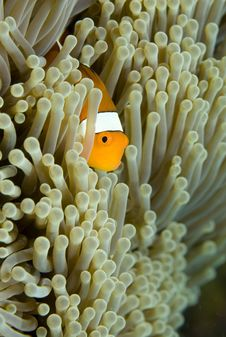 Free Clown Fish Royalty Free Stock Photography - 5246057