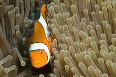 Free Clown Fish Stock Images - 5246084