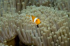 Free Clown Fish Stock Photo - 5246130