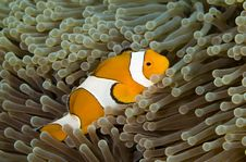 Free Clown Fish Royalty Free Stock Photos - 5246378