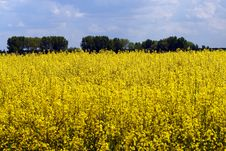 Free Rape Field Stock Image - 5246541
