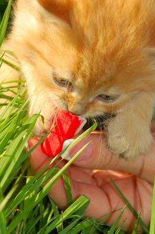 Free Feeding The Red Kitten Royalty Free Stock Image - 5246676