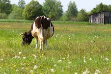 Free Cow Stock Photography - 5246732