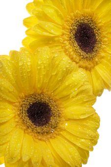 Free Yellow Gerber. Royalty Free Stock Photo - 5246865