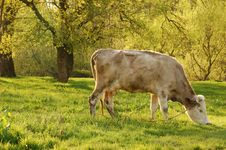 Free Milch Cow Royalty Free Stock Image - 5246866