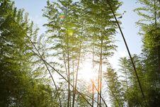 Free Sunlight Through Bamboos Royalty Free Stock Photo - 5247145
