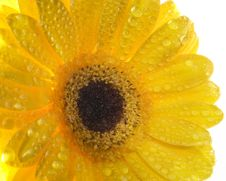 Free Yellow Gerber. Royalty Free Stock Image - 5247576