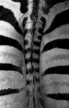 Zebra Bum Royalty Free Stock Photos