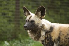 Free Hyena Looking Alert Royalty Free Stock Photo - 5248375