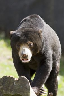 Free Large Bear On The Prowl Stock Photos - 5248383
