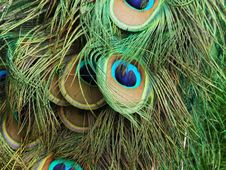 Free Peacock Feathers Royalty Free Stock Photo - 5248525