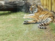 Free Bengal Tiger Resting Royalty Free Stock Photography - 5248757