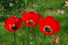 Free Three Tulipa Flowers Stock Photo - 5248870