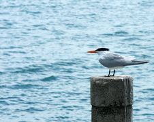 Free Seagull Royalty Free Stock Photography - 5248927