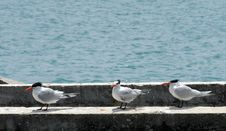 Free Seagulls Stock Images - 5248974