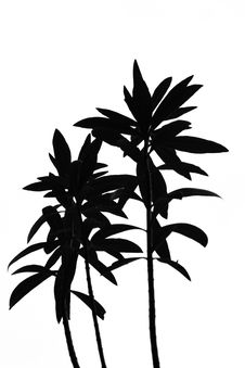 Free Black White Plant Royalty Free Stock Photography - 5249247