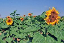Free Sunflower Stock Photo - 5249380