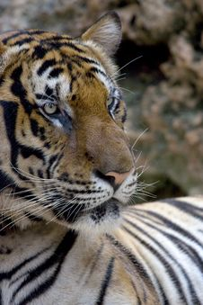 Free Tiger Royalty Free Stock Photo - 5249695
