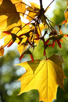 Free Autumn Maple Leaves Stock Photo - 5249910