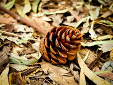 Free The Pine Cone Royalty Free Stock Photo - 52423185