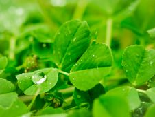 Free The Water Drop On The Clover Stock Photography - 52423762
