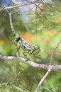 Free Chameleon Stock Photo - 5250430