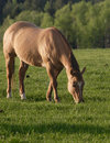 Free A Horse Grazes In A Field. Royalty Free Stock Images - 5251899