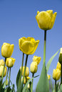 Free Yellow Tulips Stock Images - 5252654