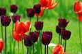 Free Tulip Field Stock Photos - 5253563