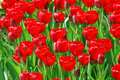 Free Field Of Red Tulips Royalty Free Stock Photography - 5253637