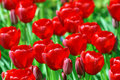 Free Field Of Red Tulips 2 Royalty Free Stock Photography - 5253667