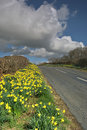 Free Daffodils On Country Road Stock Image - 5253771