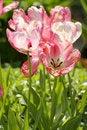 Free Many Tulips Stock Photography - 5253862