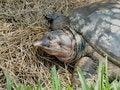 Free Florida Softshell Turtle Royalty Free Stock Images - 5254469