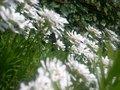 Free Spring Daises Royalty Free Stock Image - 5257026